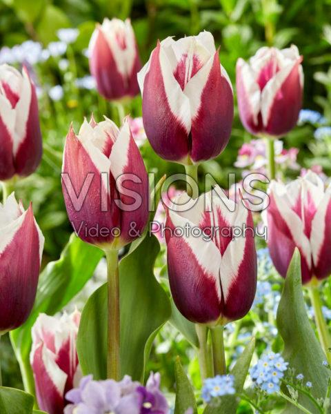 Tulipa Rimini