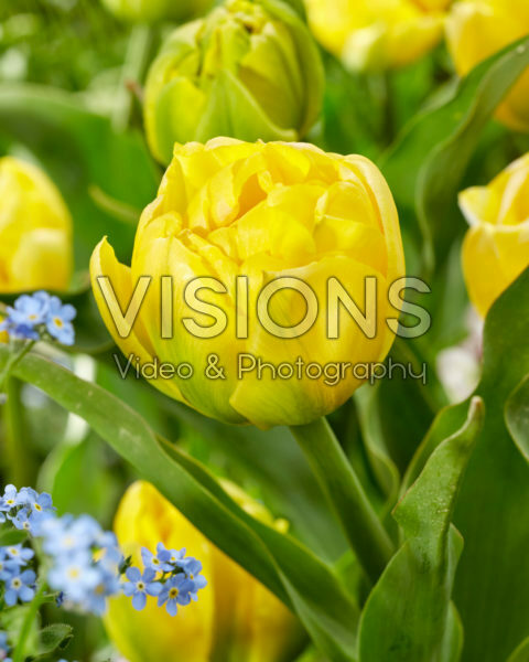 Tulipa Double Trouble