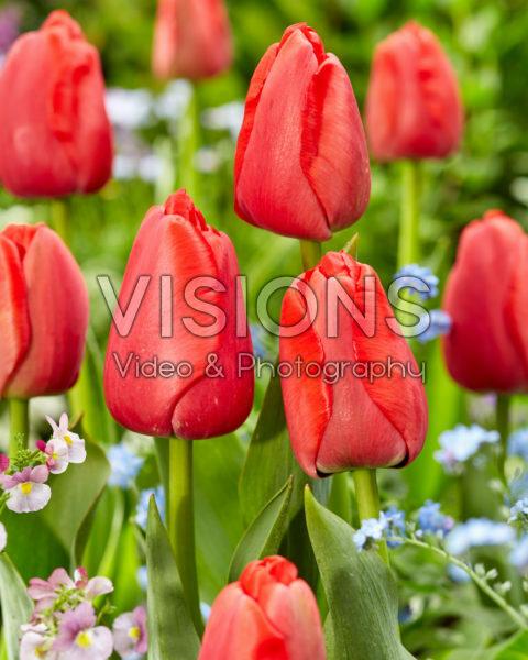 Tulipa Red Pride