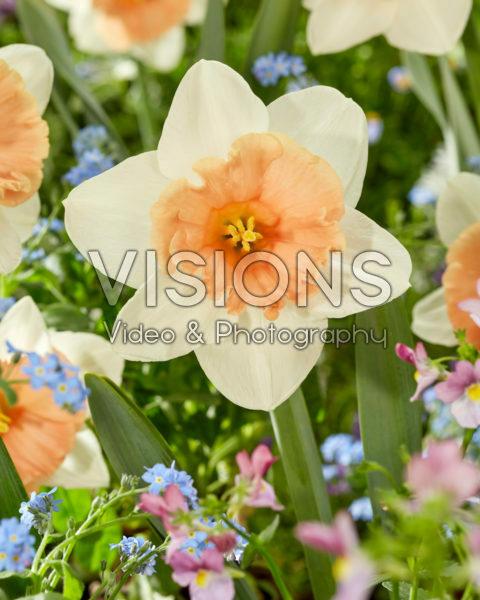 Narcissus Roseanna
