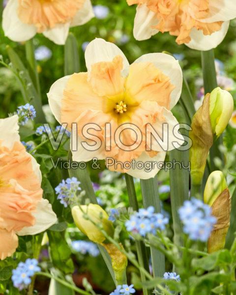 Narcissus Mariner