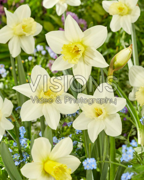 Narcissus Watch Up