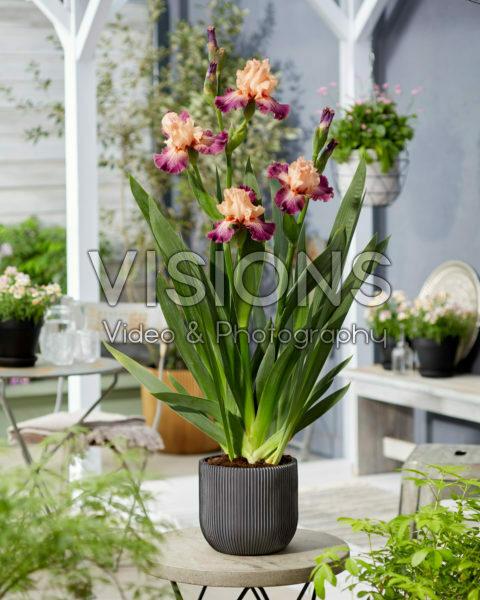Iris Rose de Perse