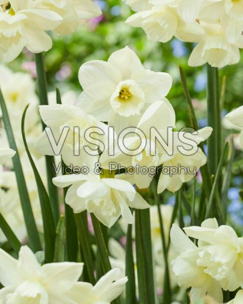 Narcissus 105-91