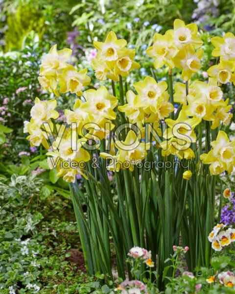 Narcissus 25-92