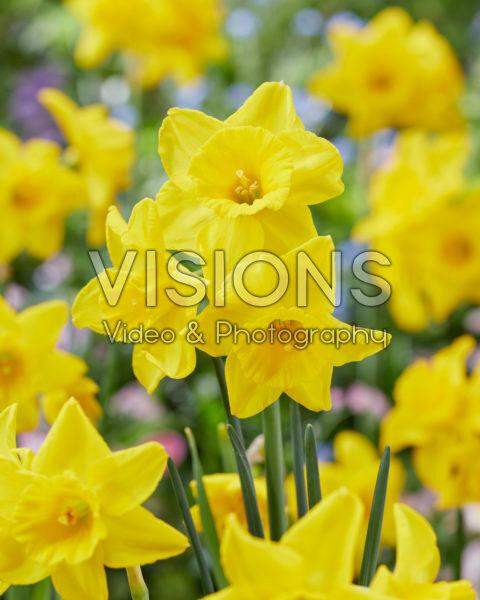 Narcissus PK VII