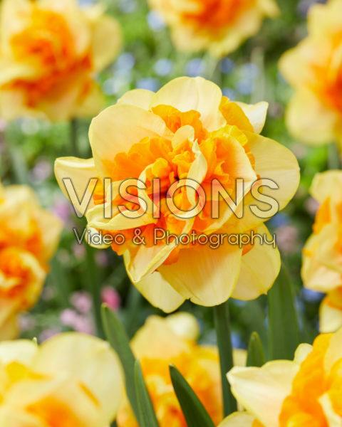 Narcissus Sun Catchers