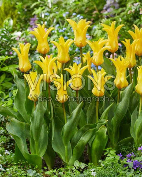 Tulipa Crown Jewel