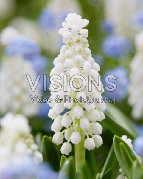 Muscari white