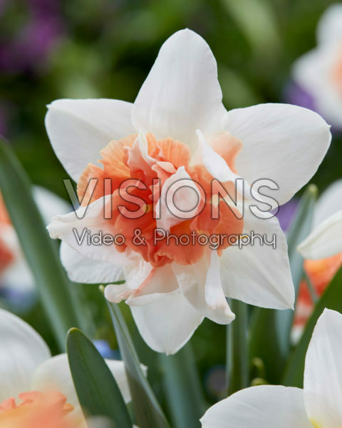 Narcissus Candy Princess