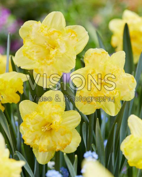 Narcissus Blazing Starlet