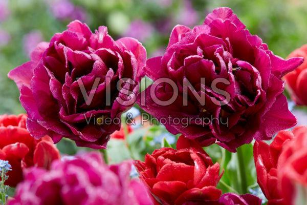 Tulipa Red Foxtrot, Showcase