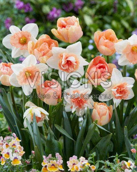 Narcissus and Tulipa mixed