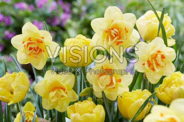 Tulipa Double Trouble, Narcissus Tahiti