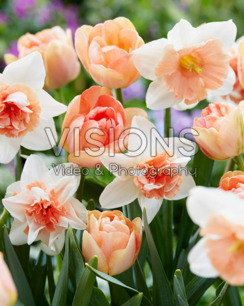 Narcissus en Tulipa gemengd