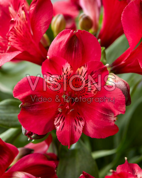 Alstroemeria Duchee Josephine