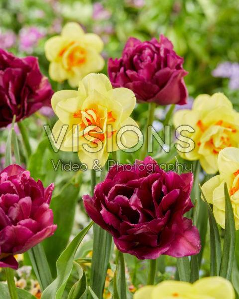 Narcissus Tahiti, Tulipa Showcase