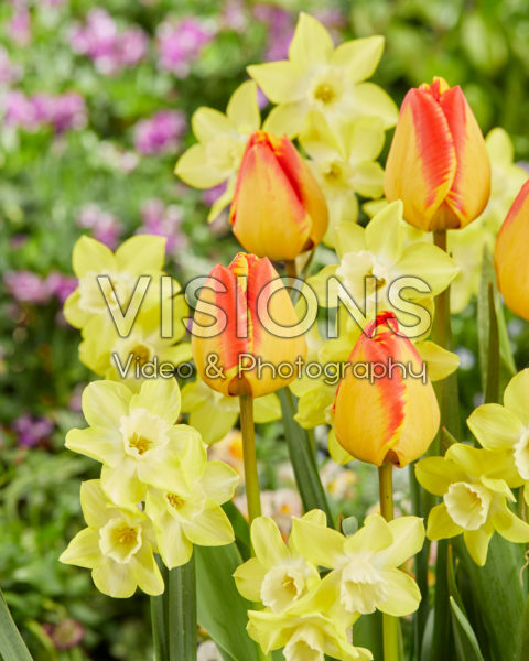 Narcissus Pipit, Tulipa Charming Beauty