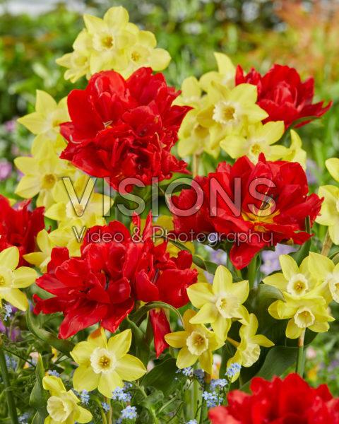 Narcissus Pipit, Tulipa Viking
