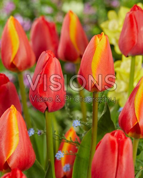 Tulipa Worlds Beauty, Red Pride