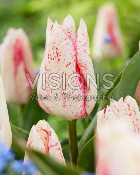 Tulipa Suus