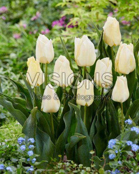 Tulipa De Lieveling