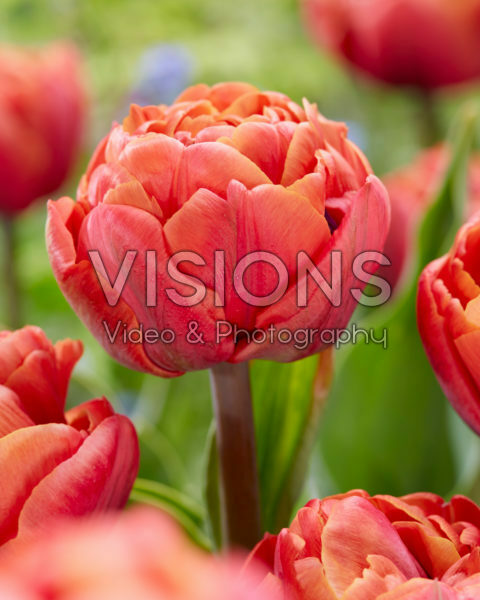Tulipa Jan Valkering
