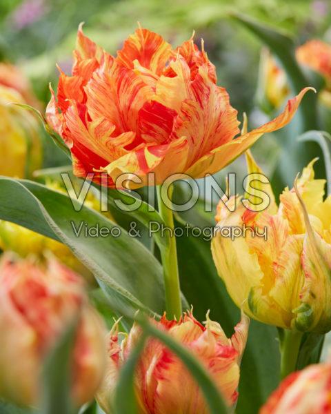 Tulipa Monte Parrot