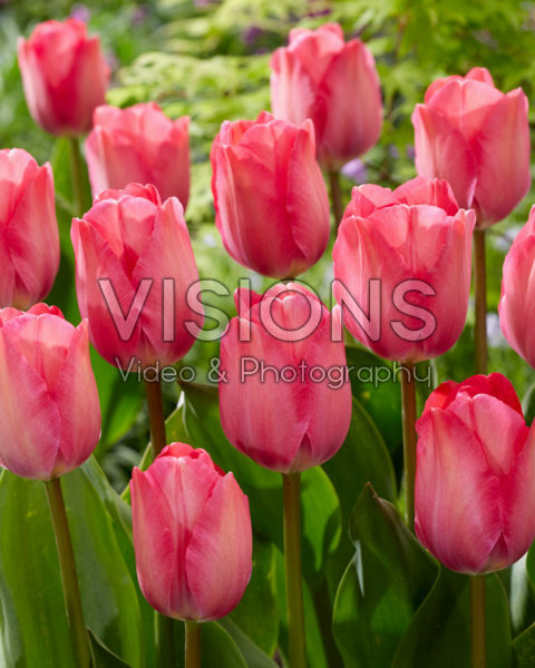 Tulipa Pink Sound