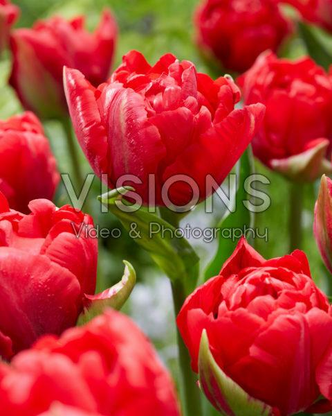 Tulipa Verona Love