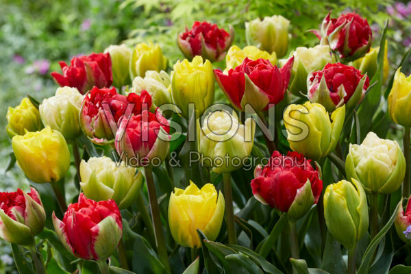 Tulipa Verona mix