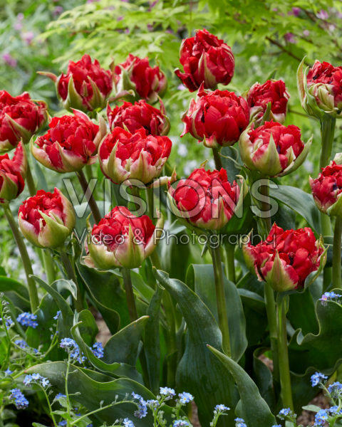 Tulipa Verona Red