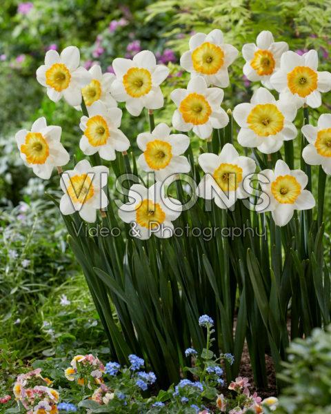 Narcissus Happy Smiles