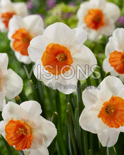 Narcissus Amadeus