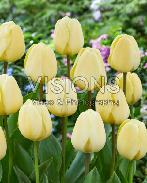 Tulipa Ivory Floradale