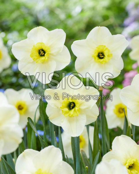 Narcissus Mint Julep