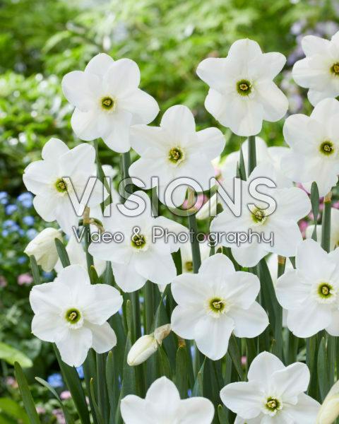 Narcissus Dallas