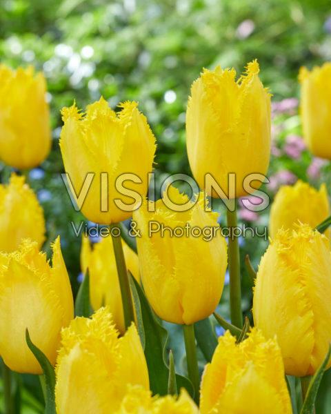 Tulipa Fabio Yellow