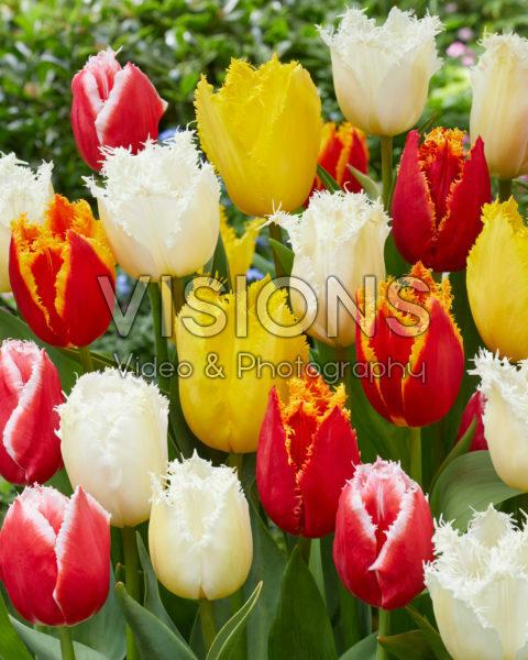 Tulipa Fringed Mix