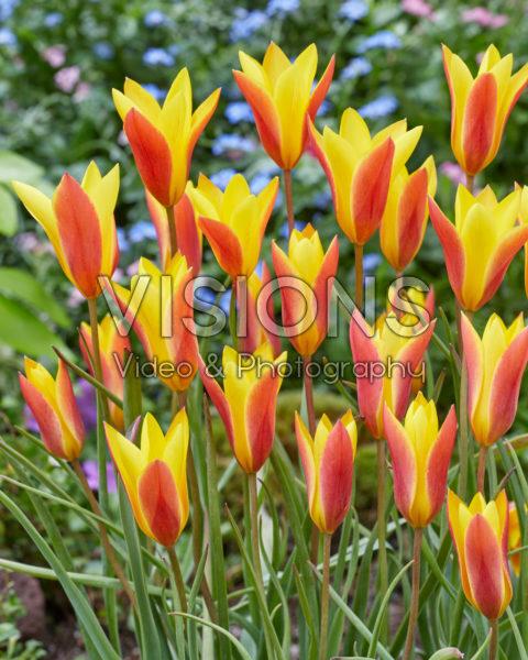 Tulipa chrysantha