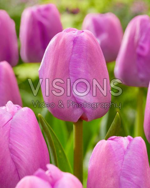 Tulipa Purple Pride