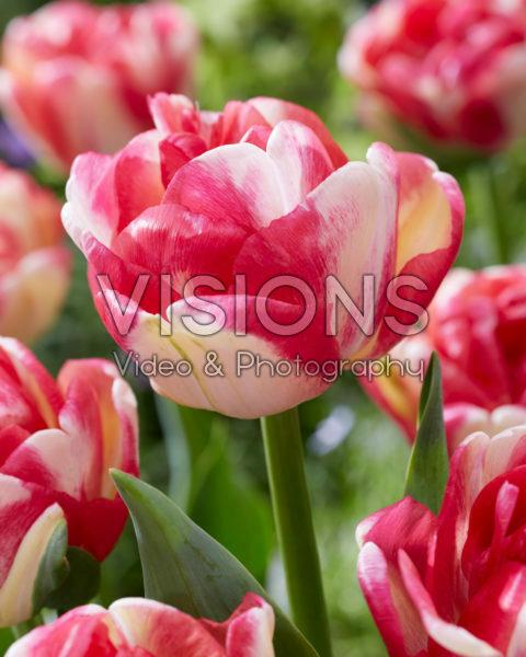 Tulipa Double Aloha