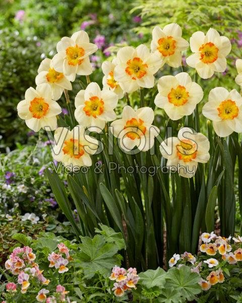 Narcissus Carpe Diem