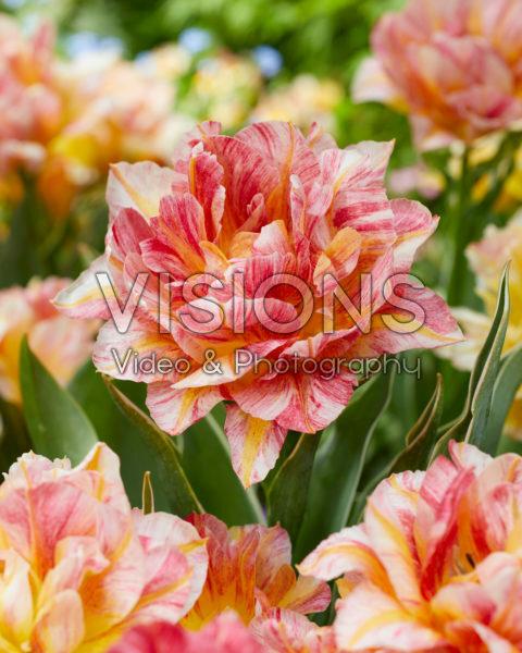 Tulipa Monte Prix