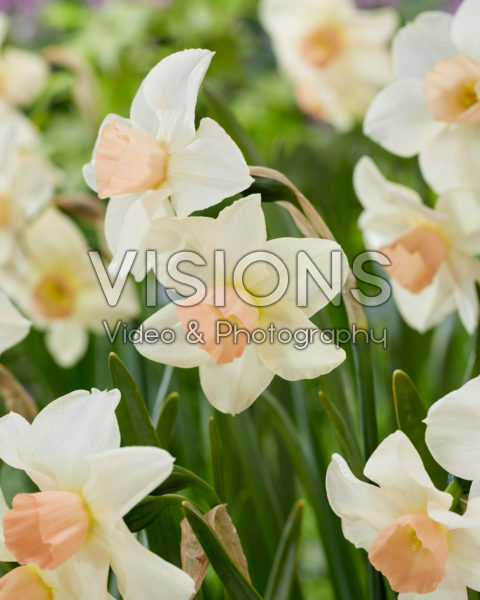 Narcissus Bell Song