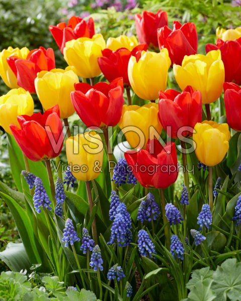 Tulipa en Muscari combinatie