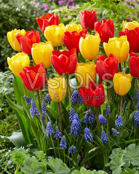 Tulipa and Muscari combination