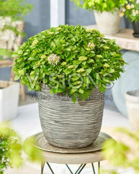Hydrangea macrophylla Forever&Ever® Hortbux