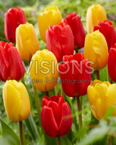 Tulipa Apeldoorn, Golden Apeldoorn