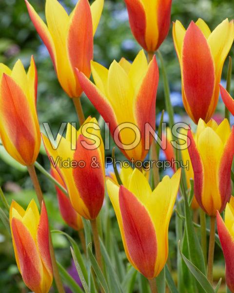 Tulipa clusiana var. chrysantha